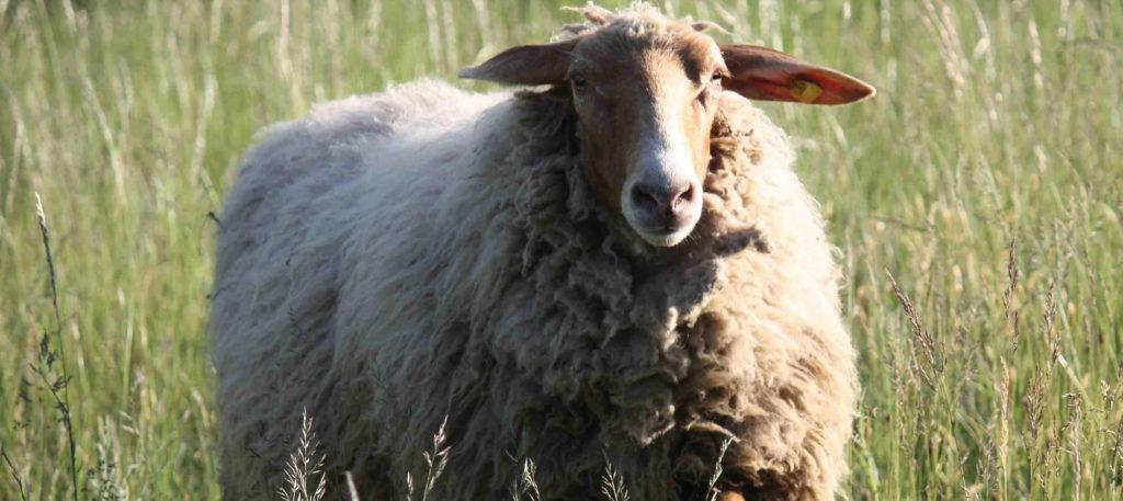 Ein Schaf aus dem Rüsselheim